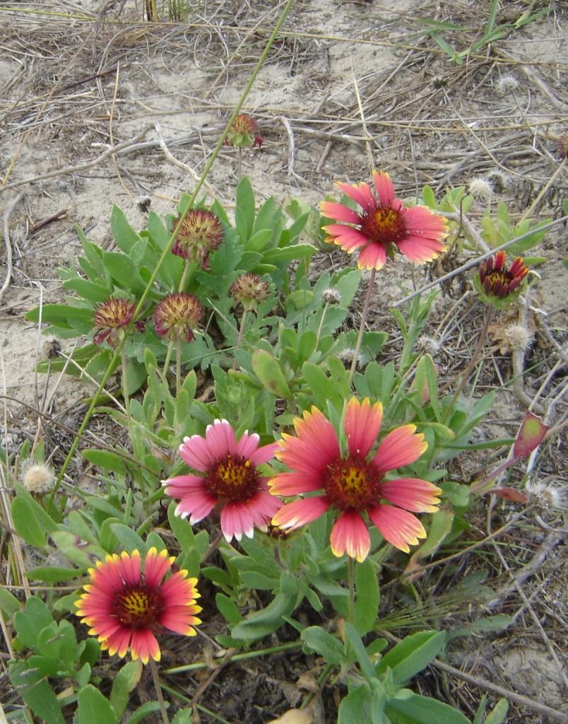 Flores nas dunas em Mar Grosso