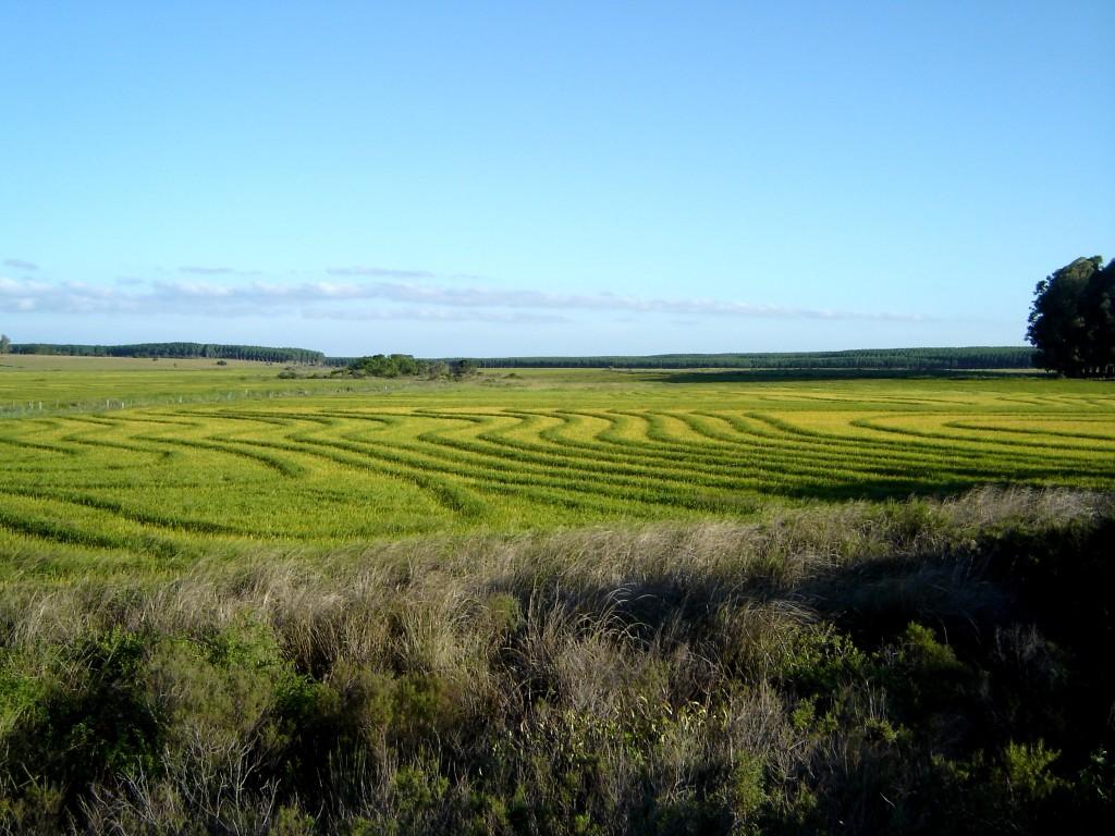 Plantação de arroz a caminhop do Jaguarão