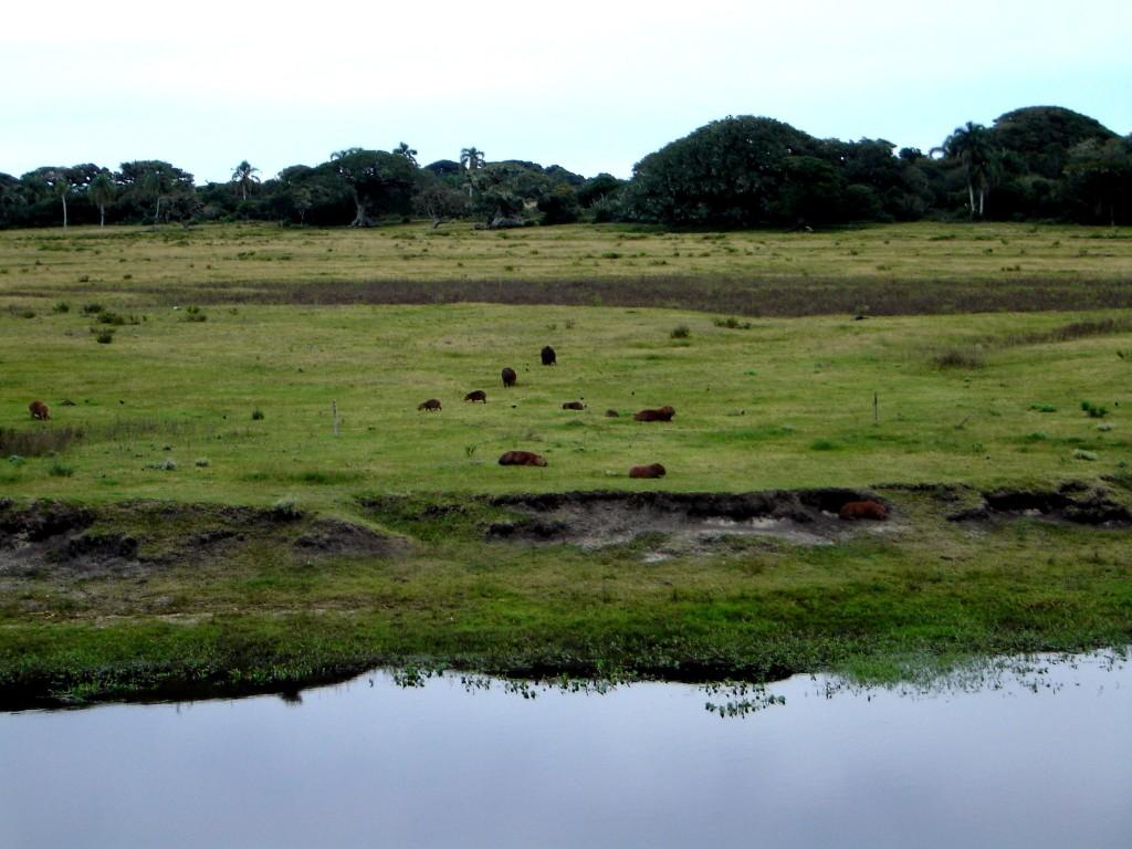 A reserva ecológica do Taim, sempre maravilhosa com suas capivaras