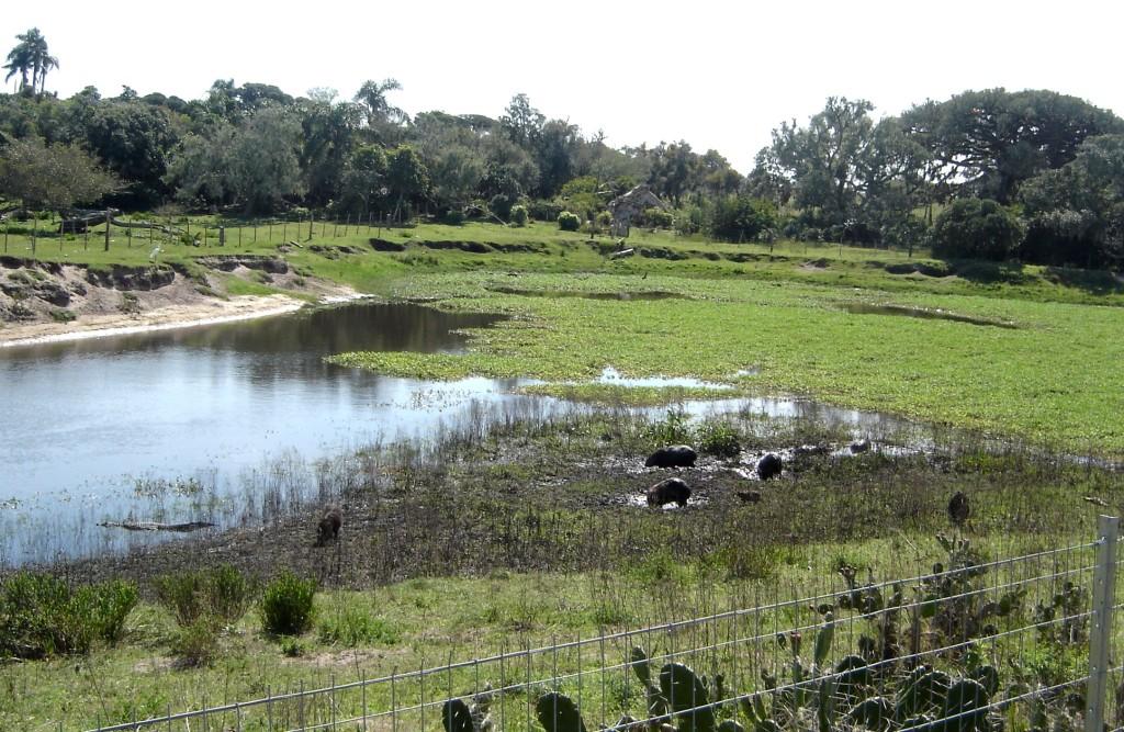 Reserva do Taim com capivaras e jacaré