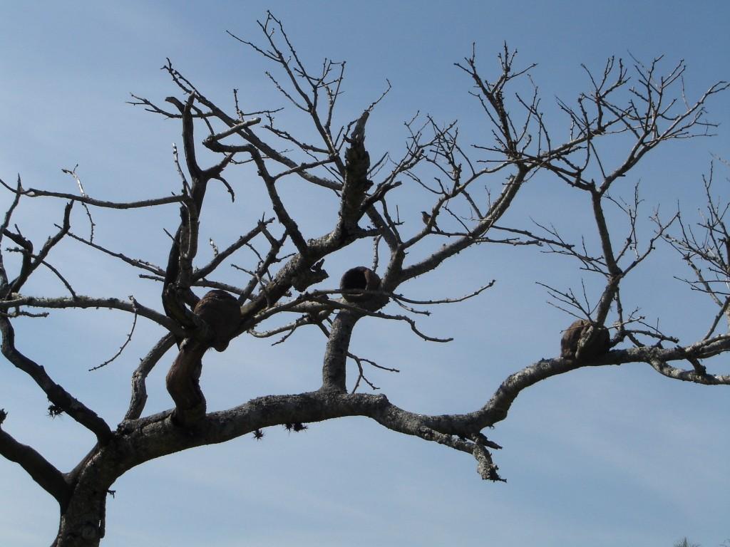 Taim com ninhos de joão de barro