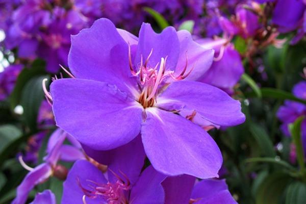Tibouchina_grandiflora1